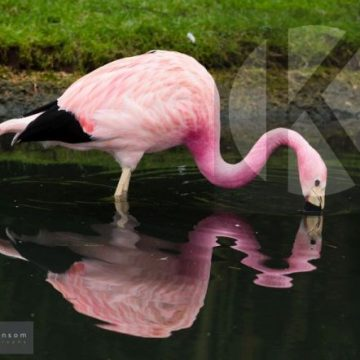 Flamingo eating- digital high res photo file